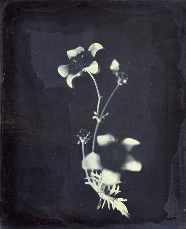 דפנה גזית, חרצית, דאגרוטייפ, 2016